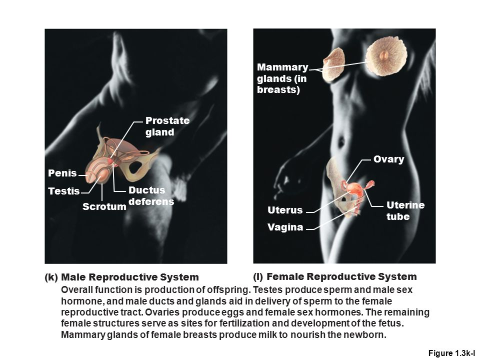 (k) Male Reproductive System (l) Female Reproductive System