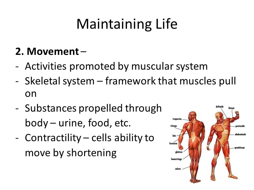 Maintaining Life 2. Movement – Activities promoted by muscular system