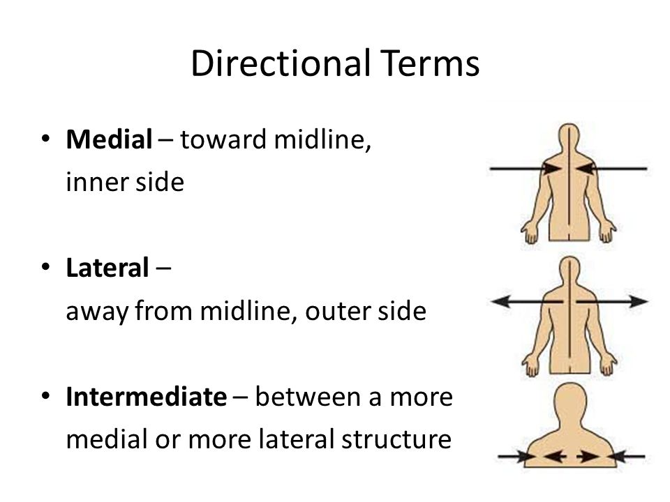 Directional Terms Medial – toward midline, inner side Lateral –