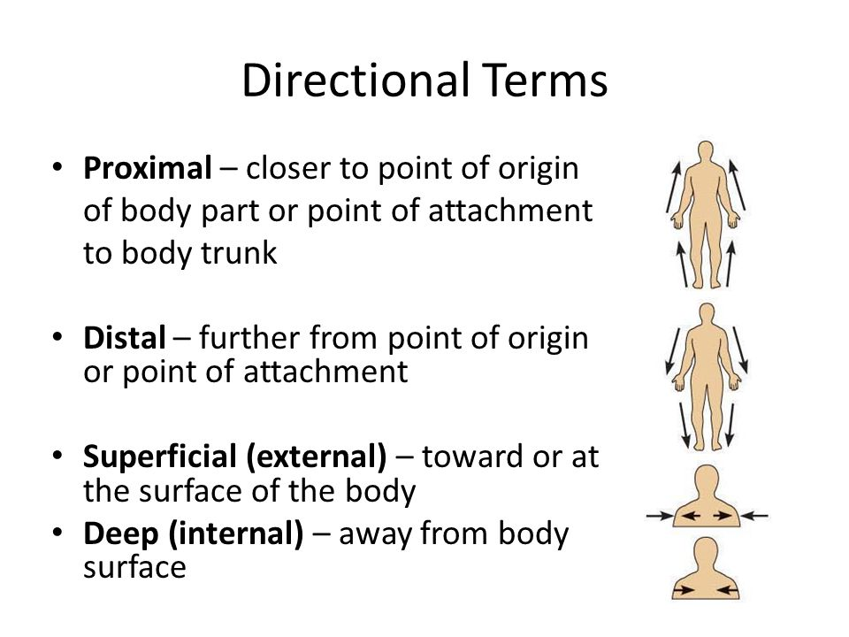 Directional Terms Proximal – closer to point of origin