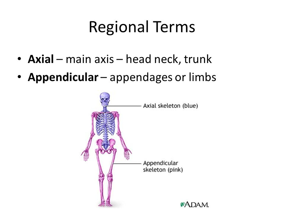 Regional Terms Axial – main axis – head neck, trunk
