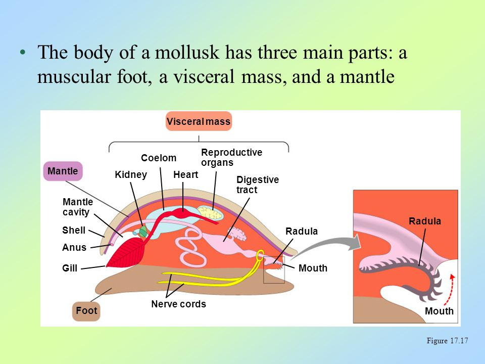 The body of a mollusk has three main parts: a muscular foot, a visceral mass, and a mantle