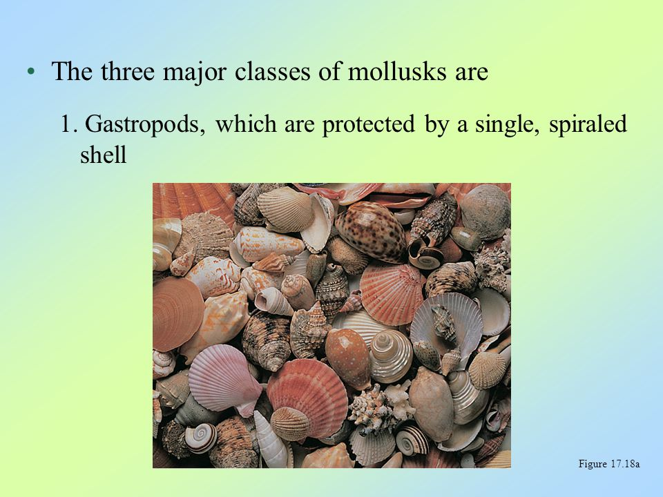 The three major classes of mollusks are