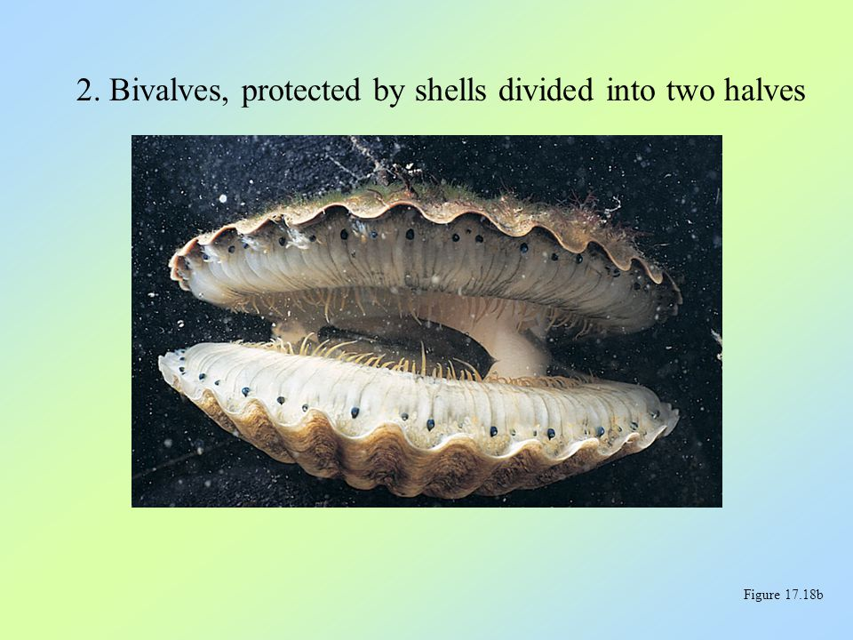2. Bivalves, protected by shells divided into two halves