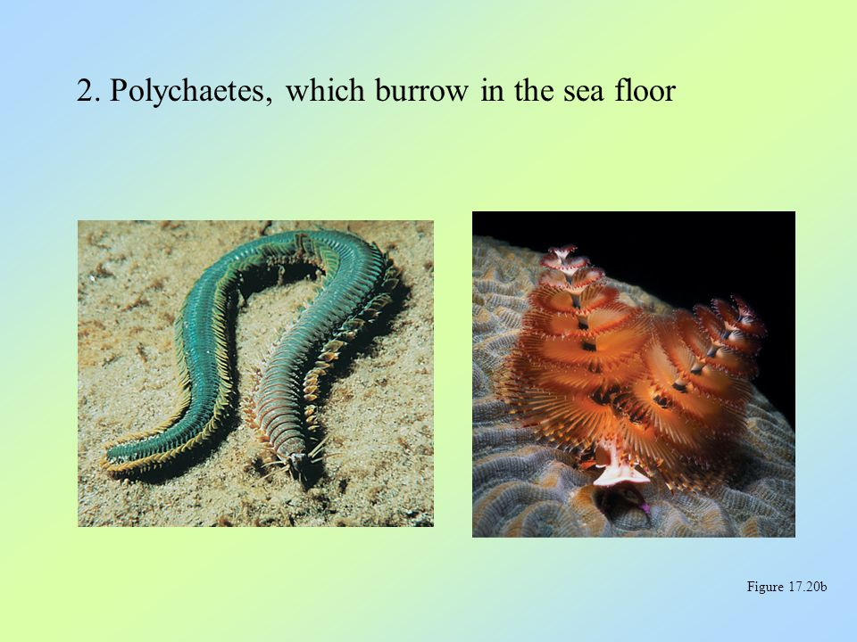 2. Polychaetes, which burrow in the sea floor