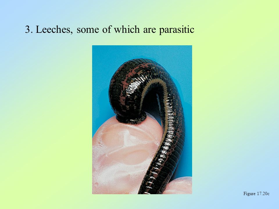 3. Leeches, some of which are parasitic