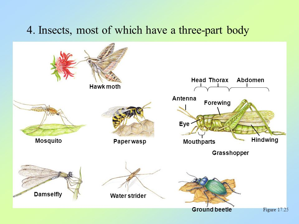 4. Insects, most of which have a three-part body