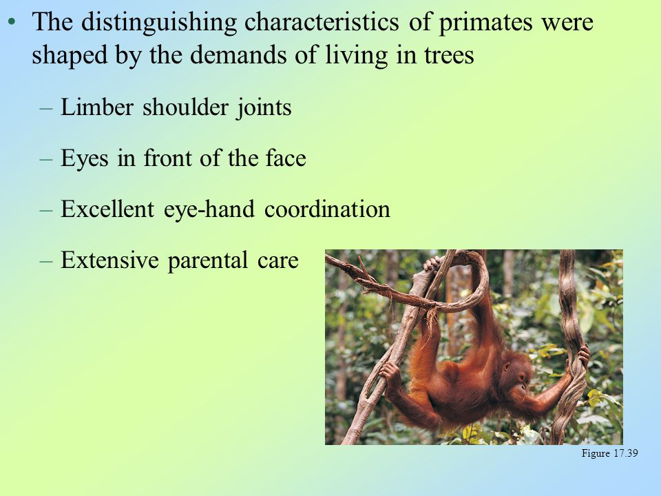The distinguishing characteristics of primates were shaped by the demands of living in trees