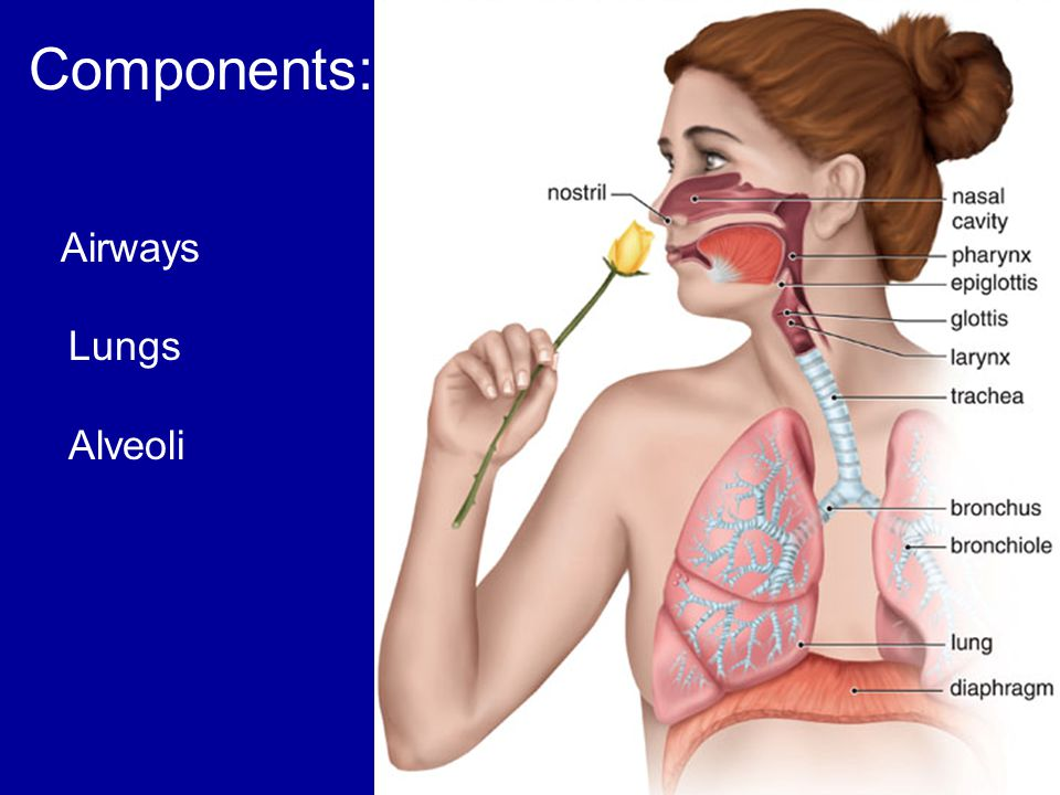 Components: Airways Lungs Alveoli