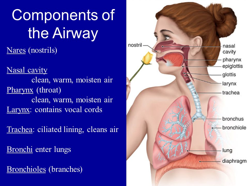 Components of the Airway