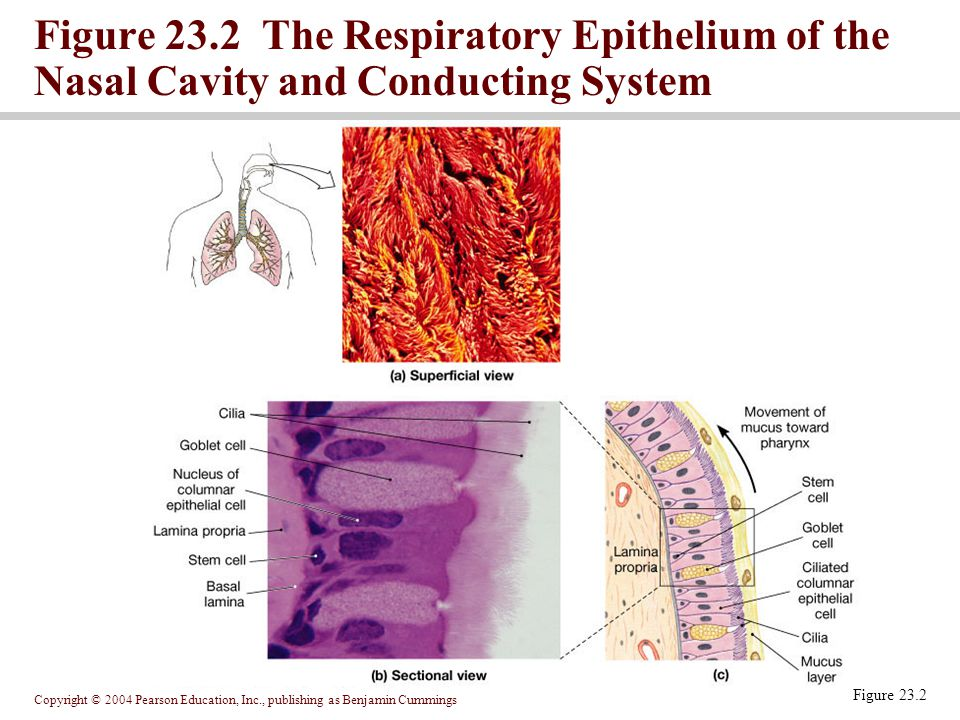 Figure 23.2 The Respiratory Epithelium of the Nasal Cavity and Conducting System