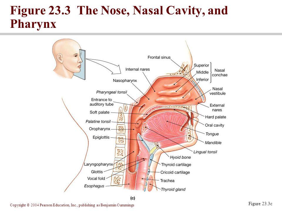 Figure 23.3 The Nose, Nasal Cavity, and Pharynx