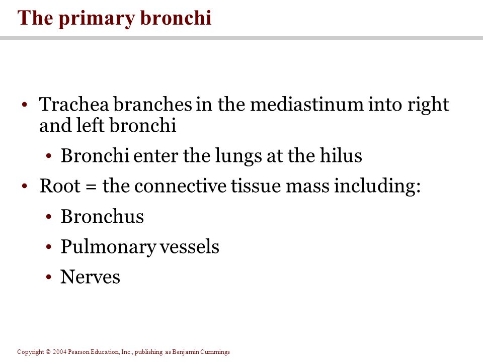 The primary bronchi Trachea branches in the mediastinum into right and left bronchi. Bronchi enter the lungs at the hilus.
