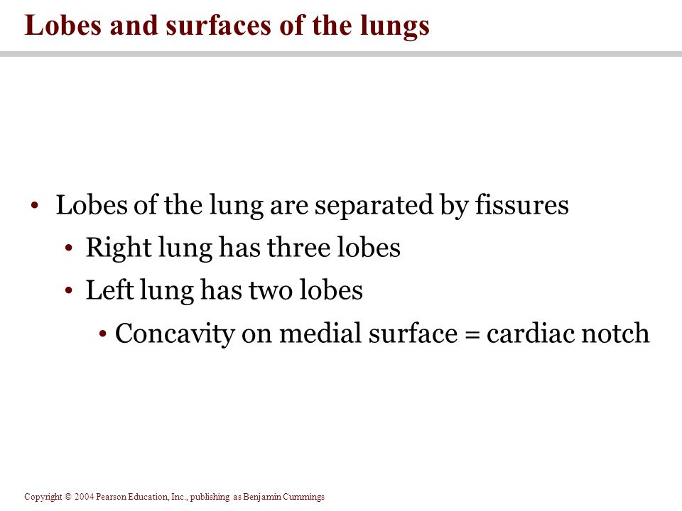 Lobes and surfaces of the lungs