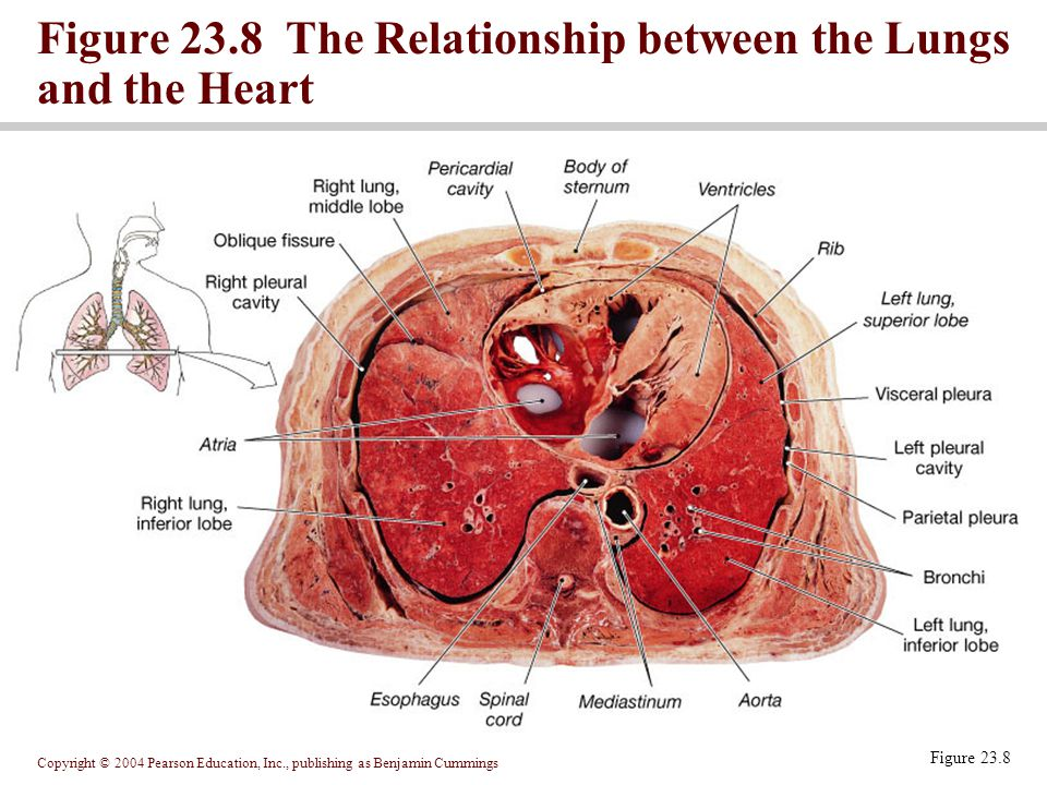 Figure 23.8 The Relationship between the Lungs and the Heart