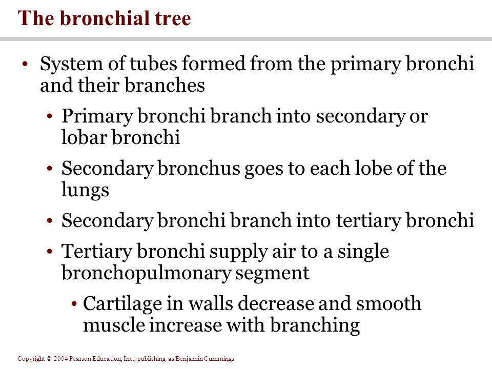 The bronchial tree System of tubes formed from the primary bronchi and their branches. Primary bronchi branch into secondary or lobar bronchi.