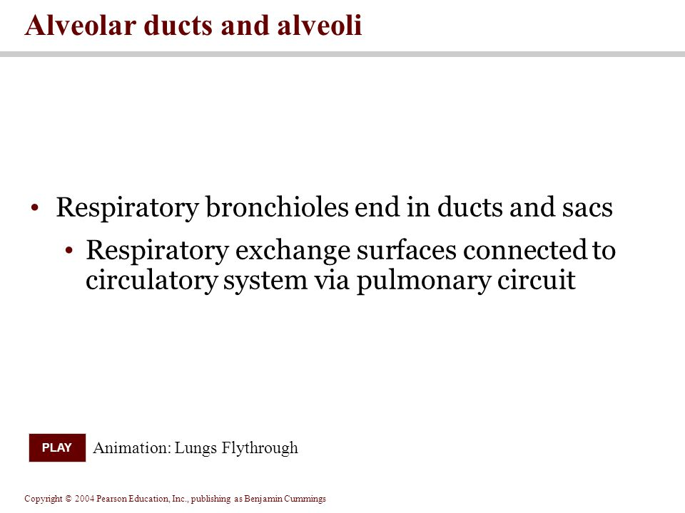 Alveolar ducts and alveoli
