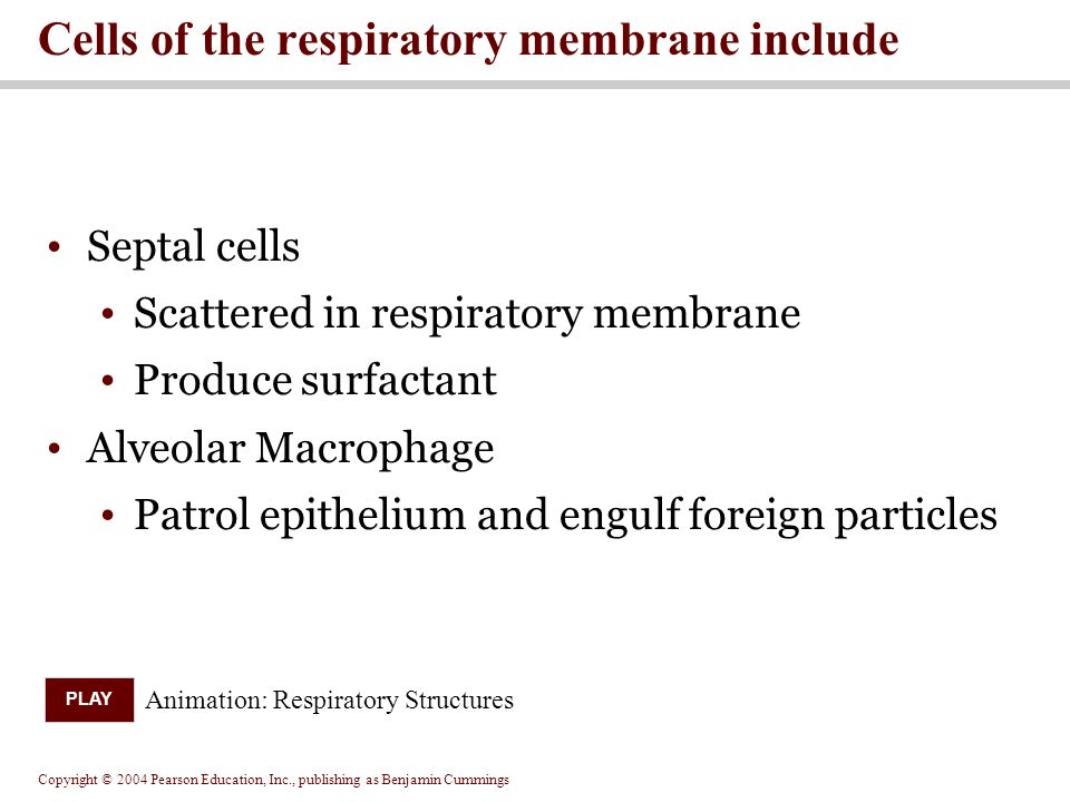 Cells of the respiratory membrane include