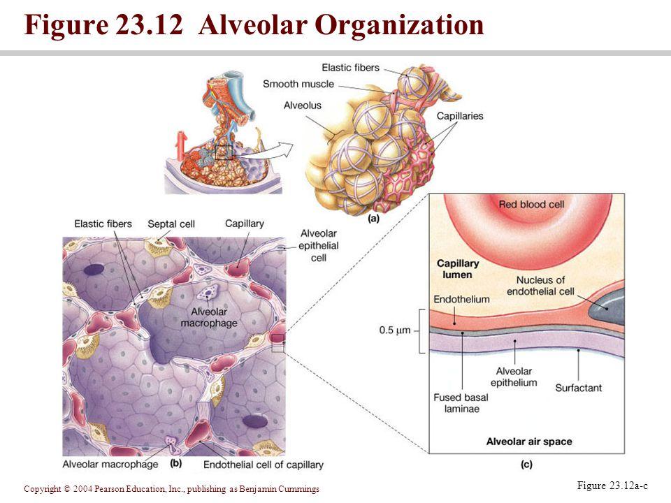 Figure 23.12 Alveolar Organization
