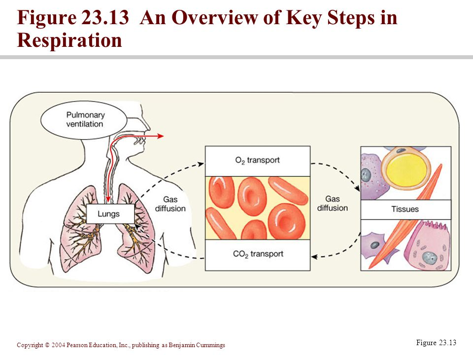 Figure 23.13 An Overview of Key Steps in Respiration