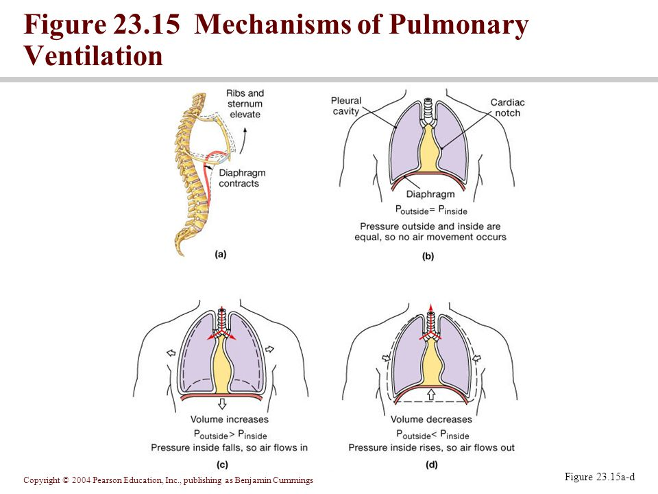 Figure 23.15 Mechanisms of Pulmonary Ventilation