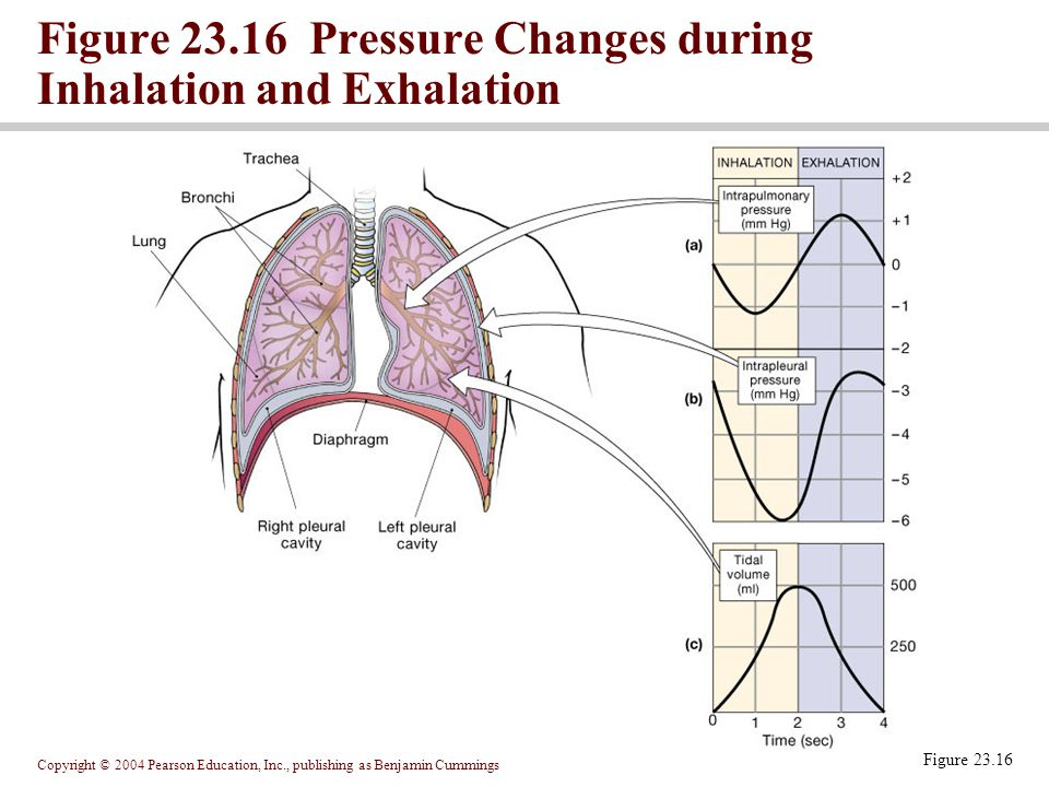 Figure 23.16 Pressure Changes during Inhalation and Exhalation