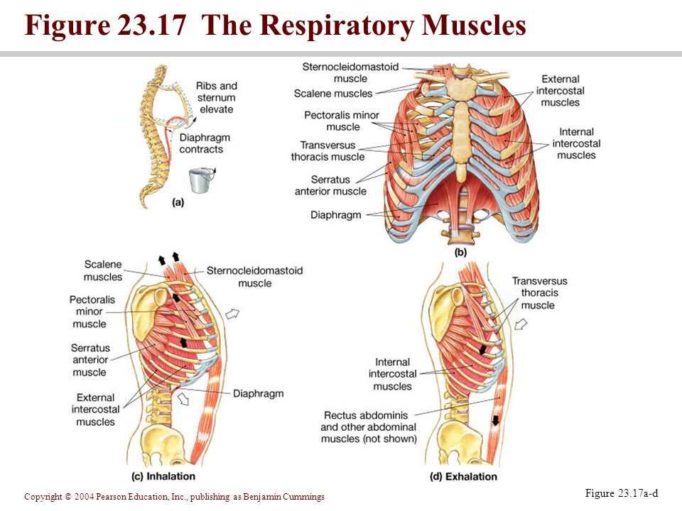 Figure 23.17 The Respiratory Muscles