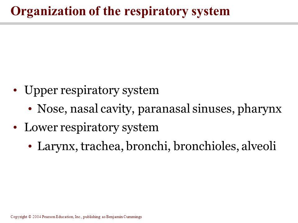 Organization of the respiratory system