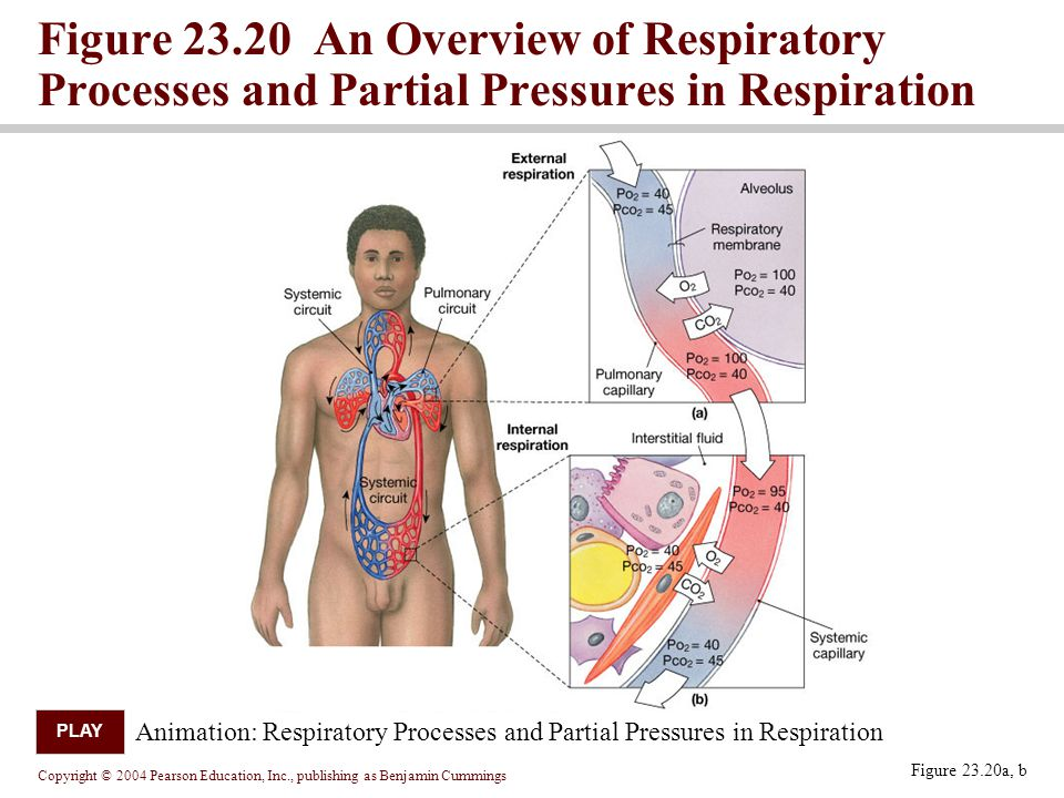 Figure 23.20 An Overview of Respiratory Processes and Partial Pressures in Respiration