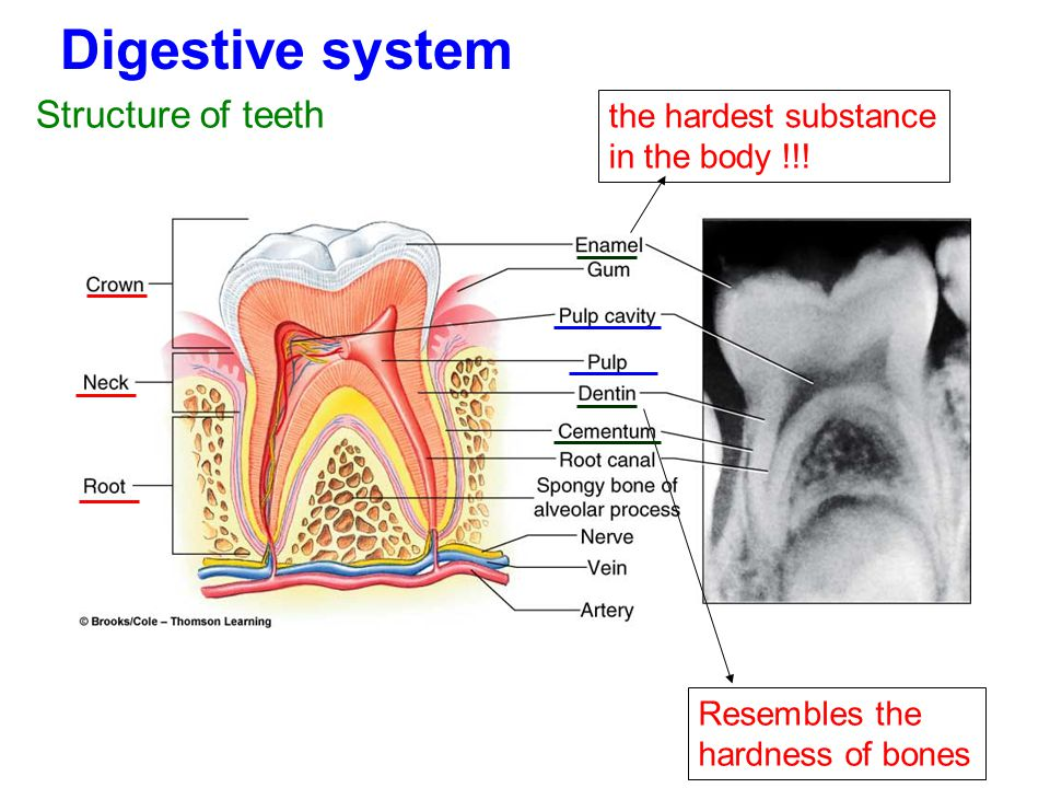 Digestive system Structure of teeth