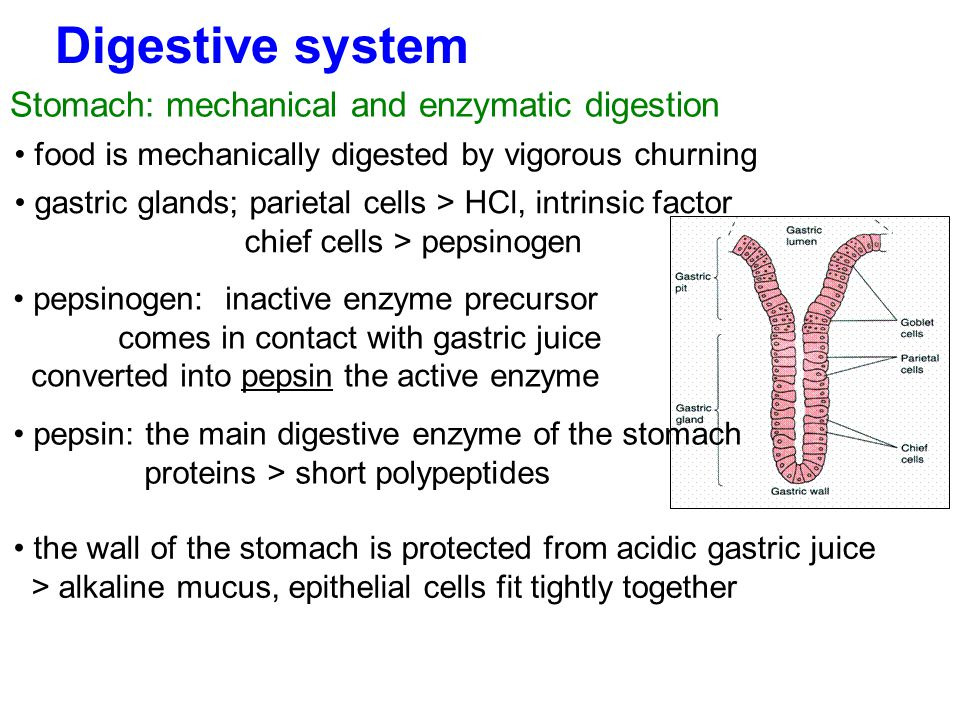 Digestive system Stomach: mechanical and enzymatic digestion