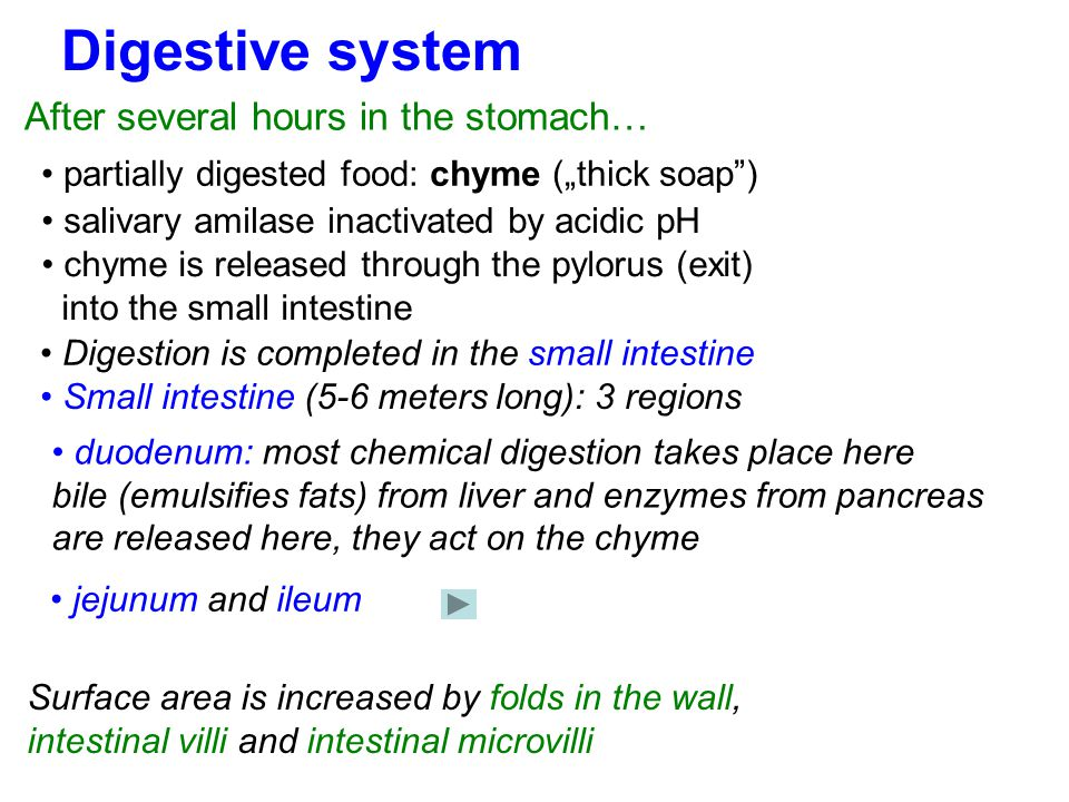 Digestive system After several hours in the stomach…