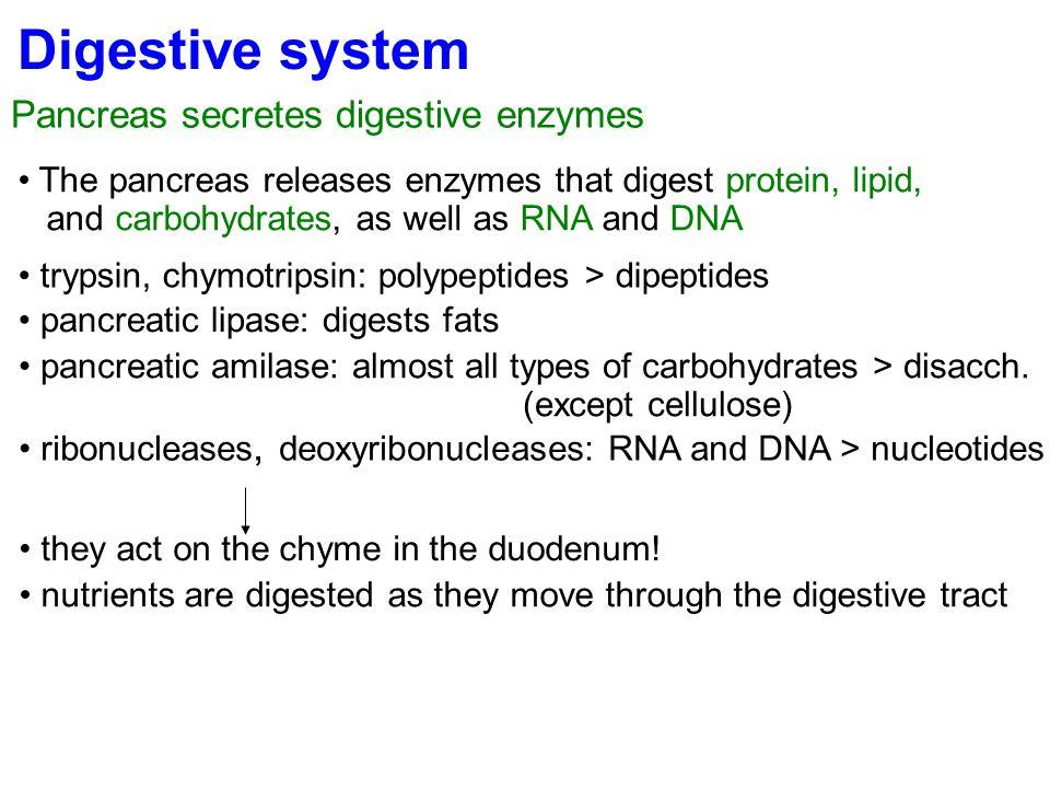 Digestive system Pancreas secretes digestive enzymes