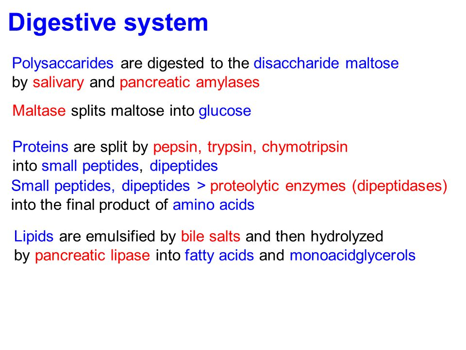 Digestive system Polysaccarides are digested to the disaccharide maltose. by salivary and pancreatic amylases.