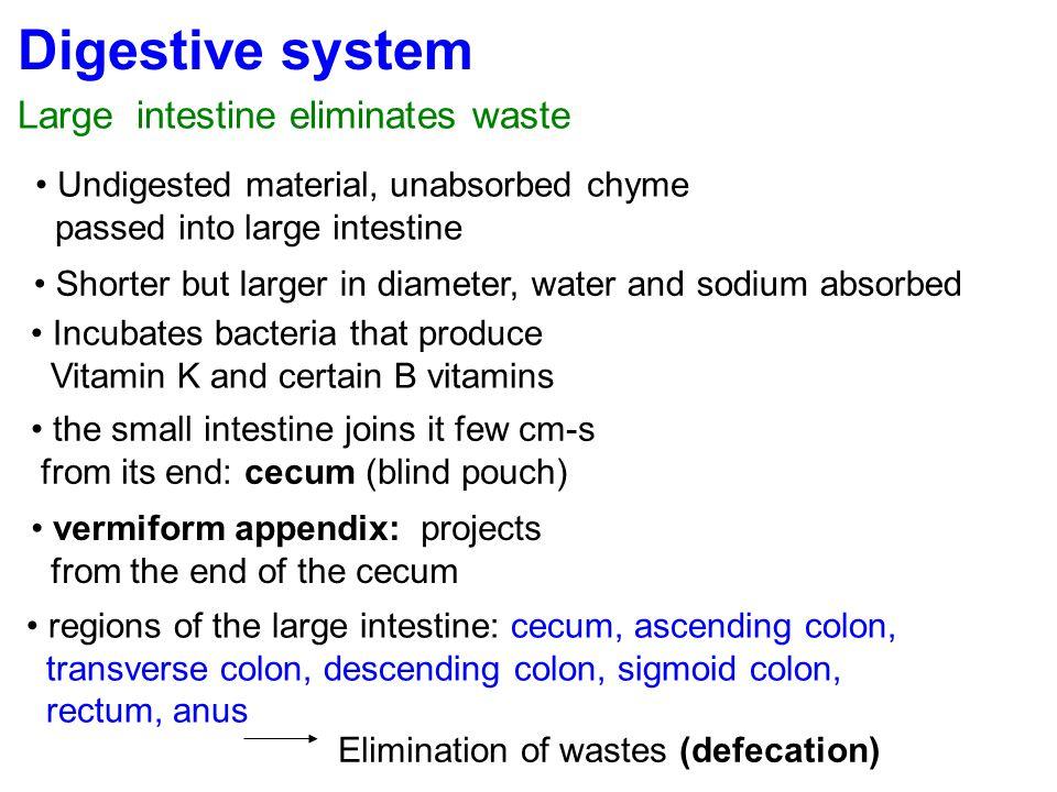 Digestive system Large intestine eliminates waste