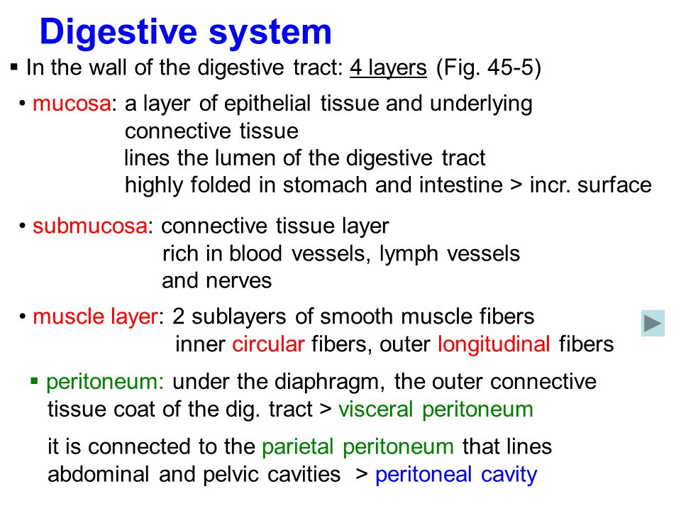 Digestive system In the wall of the digestive tract: 4 layers (Fig. 45-5)
