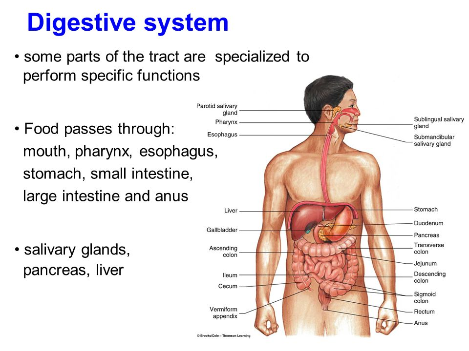 Digestive system some parts of the tract are specialized to perform specific functions.
