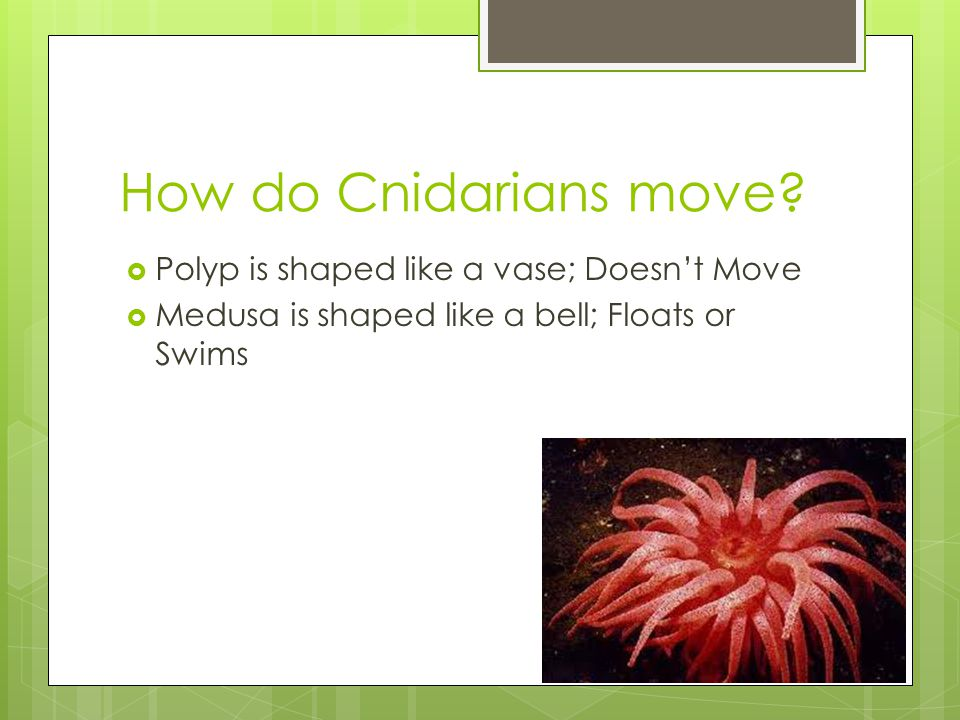 How do Cnidarians move Polyp is shaped like a vase; Doesn't Move