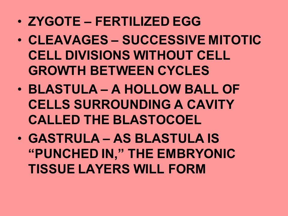 ZYGOTE – FERTILIZED EGG