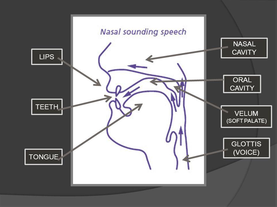 NASAL CAVITY LIPS ORAL CAVITY TEETH VELUM GLOTTIS (VOICE) TONGUE