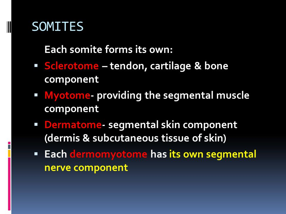 SOMITES Each somite forms its own: