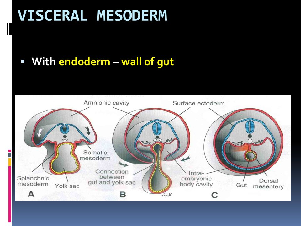 VISCERAL MESODERM With endoderm – wall of gut