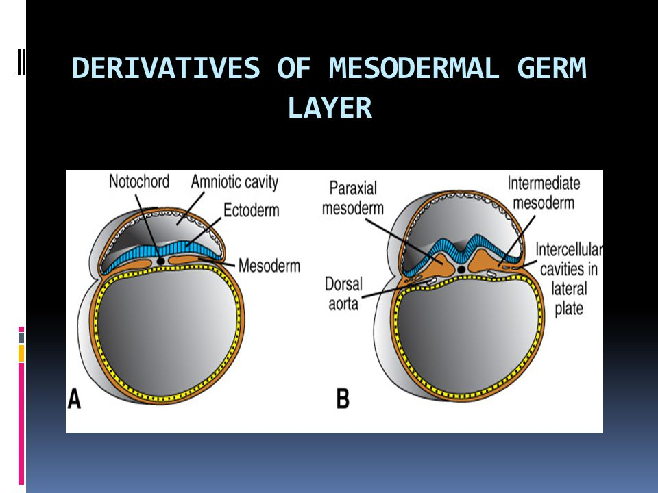 DERIVATIVES OF MESODERMAL GERM LAYER