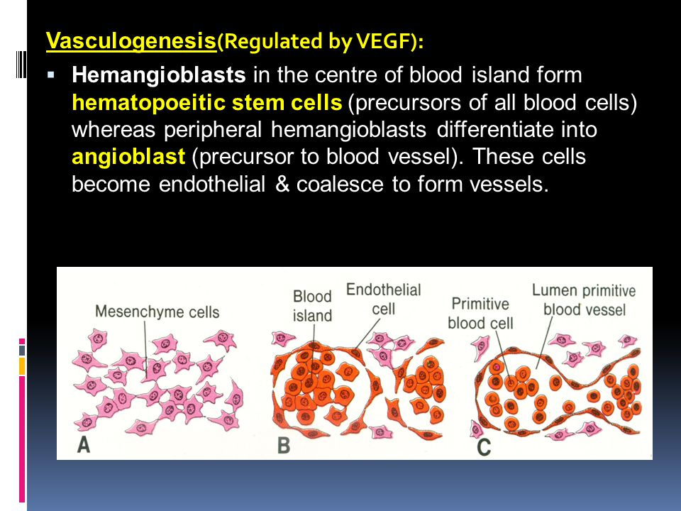 Vasculogenesis(Regulated by VEGF):
