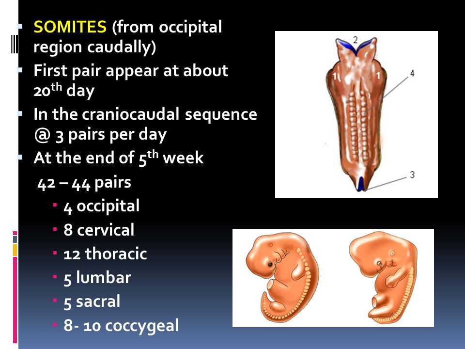 SOMITES (from occipital region caudally)
