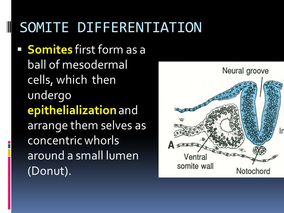 SOMITE DIFFERENTIATION