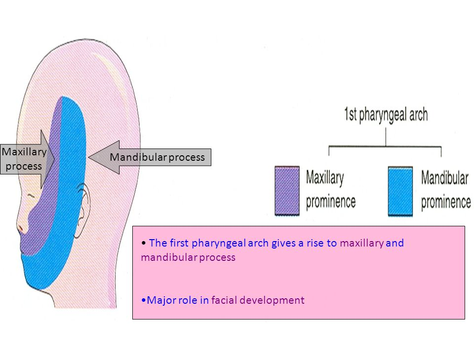 Maxillary process. Mandibular process. The first pharyngeal arch gives a rise to maxillary and mandibular process.