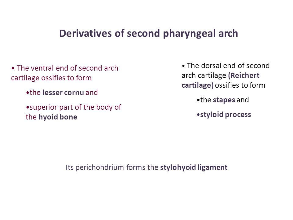 Derivatives of second pharyngeal arch