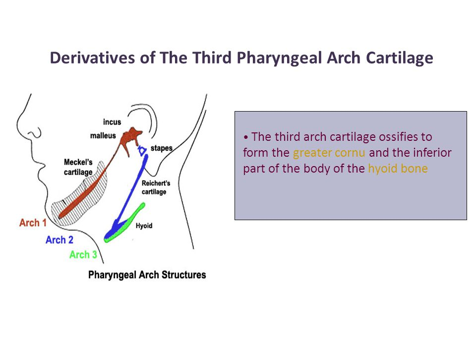 Derivatives of The Third Pharyngeal Arch Cartilage