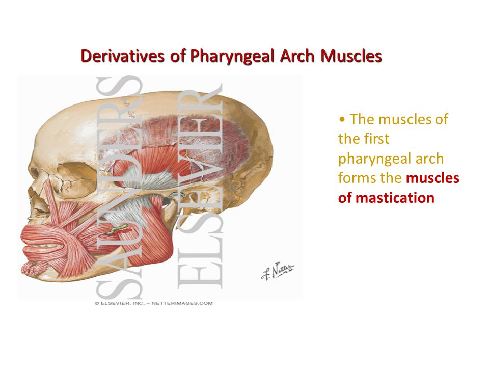 Derivatives of Pharyngeal Arch Muscles
